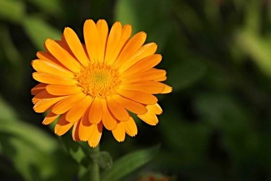 marigold-2666877_960_720