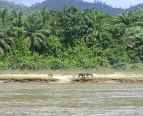 Wasserbüffel am Fluss Tembeling