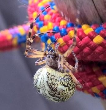 Spinne am Seil