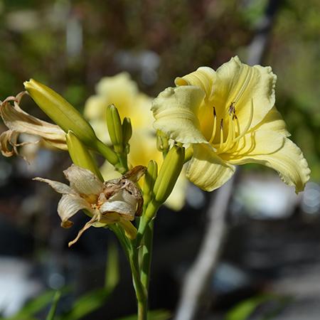 Daglilje-Hemerocallis-lilioaspodelus-3-450