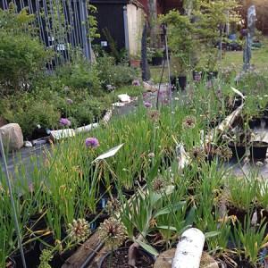 Workshop om allium (flerårige løgplanter) @ Naturplanteskolen | Hedehusene | Danmark