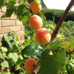 abrikoser-arpil-16-1
