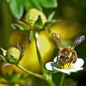 Gratis og givtigt: Biernes dag med honningsmagning @ Naturplanteskolen | Hedehusene | Danmark