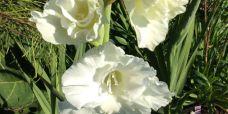 Gladiolus spp. Gladiolus