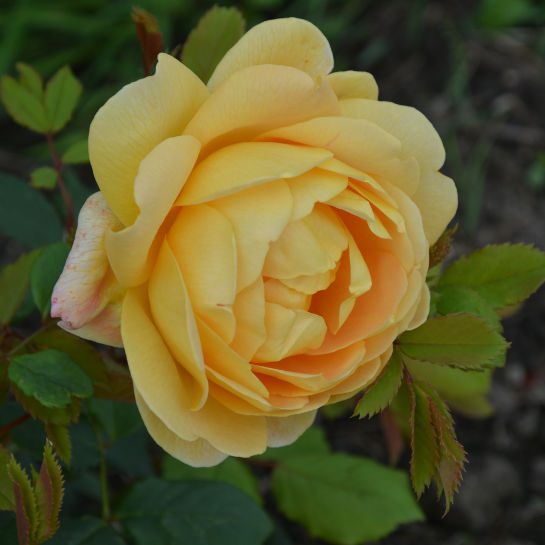 Rosa sp. Rose