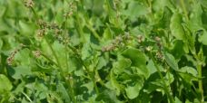Rumex scutatus Fransk syre