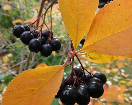 Surbær fra Naturplanteskolen