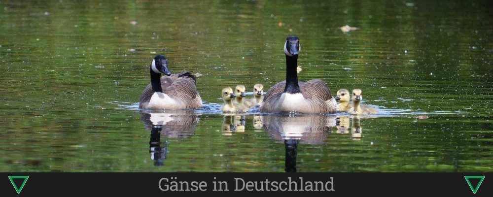 Gänse in Deutschland