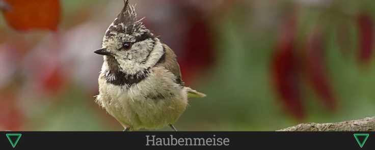 Haubenmeise (1)