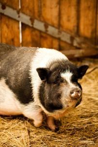 Schwein Bio-Urlaub