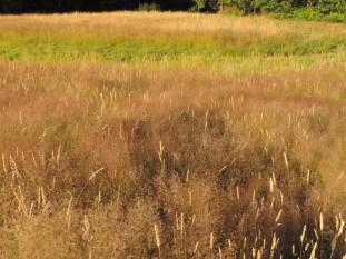 struisgrassen