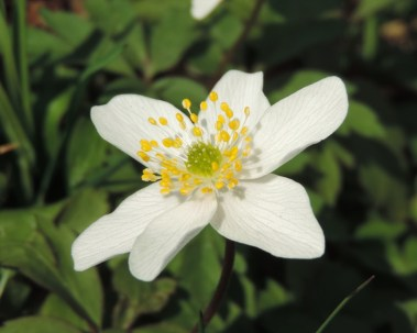 bos-anemone-1