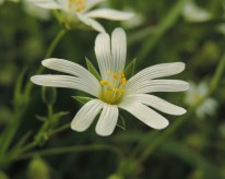 stellaria-holostea-1