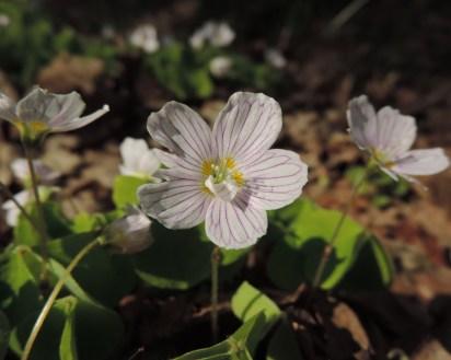 bloemen klaverzuring (5)