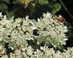 bloemen berenklauw (16)