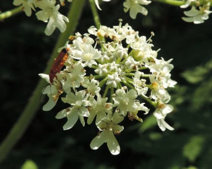 bloemen berenklauw (7)