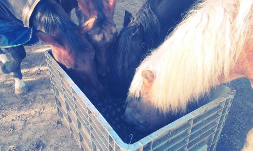 paarden-eten
