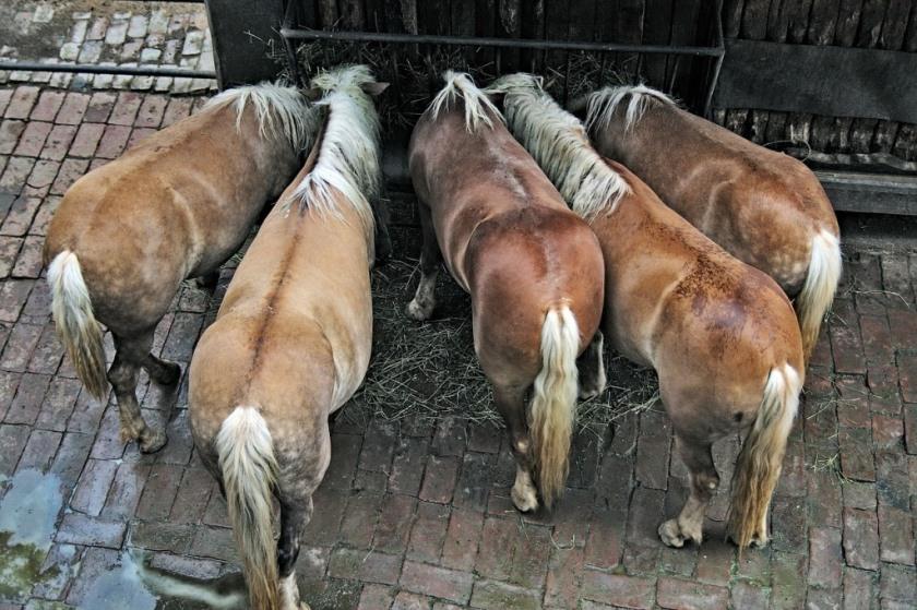 paarden voeren in een groepsstalling
