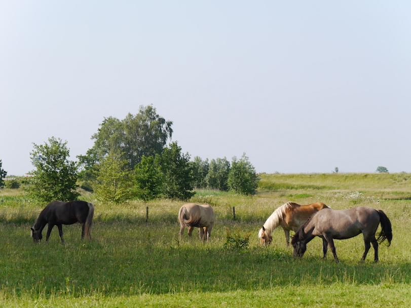 onze 4 paarden in de wei