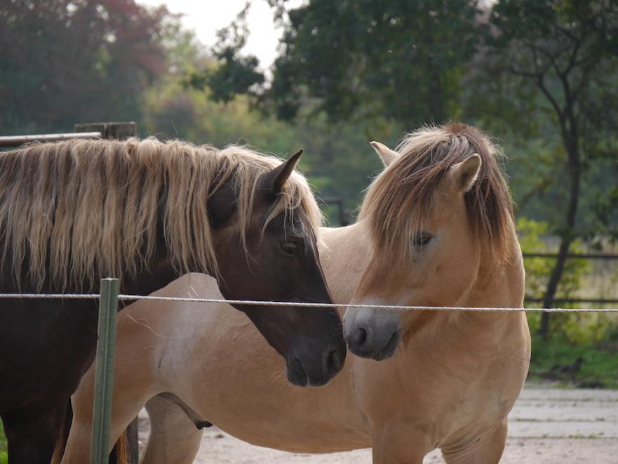 Paarden achter draadje