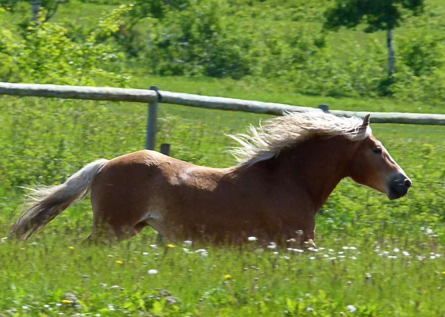 Haflinger in galop kruidenrijke paardenweide