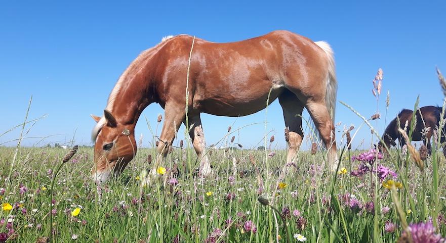 Bloemrijk grasland voor je paard