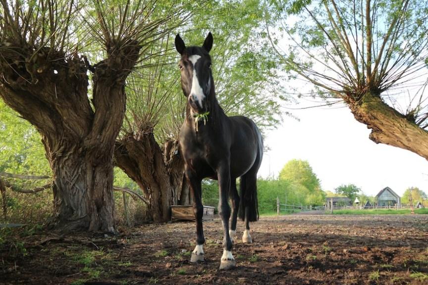 wilgen eetbaar voor paarden