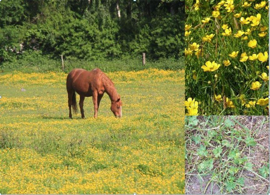 Kruipende boterbloem giftige kruiden voor paarden