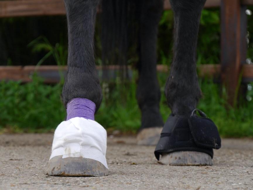 bloedzuigertherapie laminitis paard