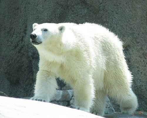 Poljarnuj-medved »