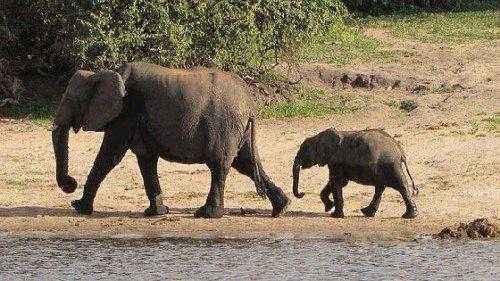 Elefant - Wikipedia