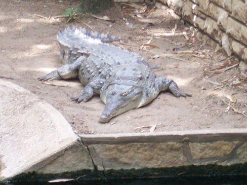 Orinokskij-Krokodil.