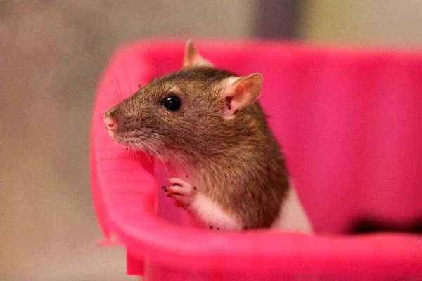 Красивые имена для крыс девочек. Как назвать декоративную ...