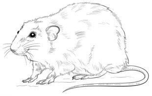 Jak Narysowa Szczura Krok Po Kroku Rysowanie Szczura