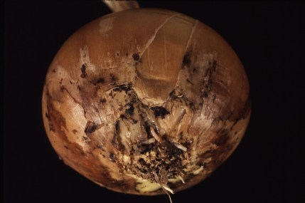 work-websites-nault-research-ipm-onion maggot in onion-ONIONMAGGOT_DAMAGEDBULB