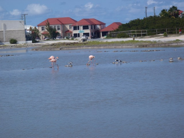 Flamingos in the Salt Ponds