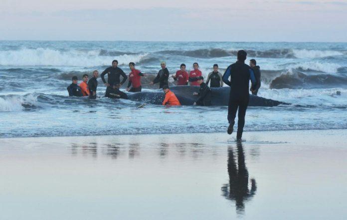 Encalló una ballena en Punta Mogotes
