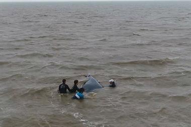 San Clemente: rescatan una ballena varada a metros de la costa