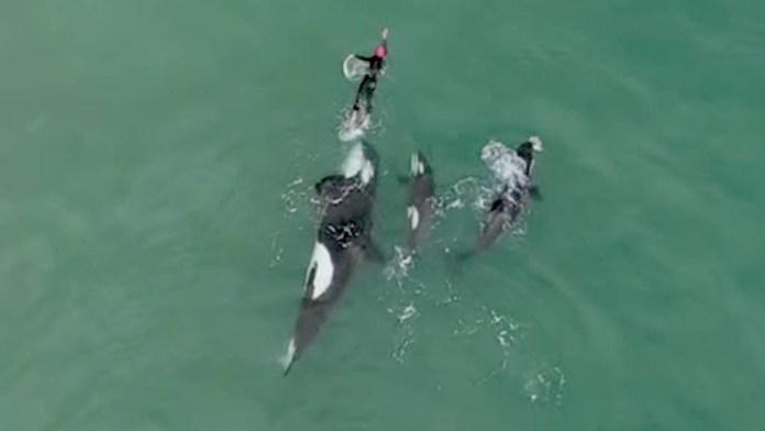 Nadadora perseguida por una familia de orcas en Nueva Zelanda.