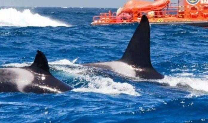 Ataque de orcas