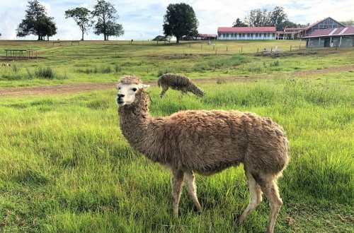 Kenilworth Farmstay Llama