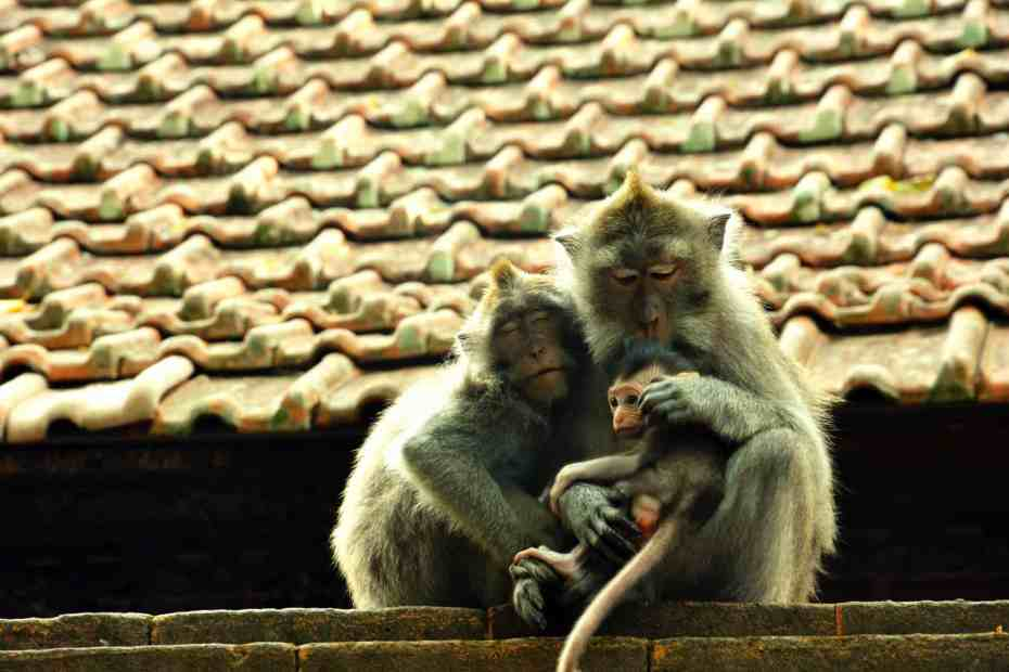 A monkey family showing each other support and compassion on a rooftop in Bali