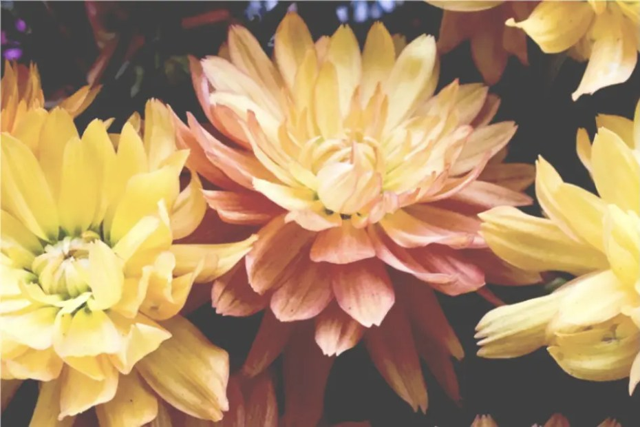 Pink Dahlia flower surrounded by yellow dahlias