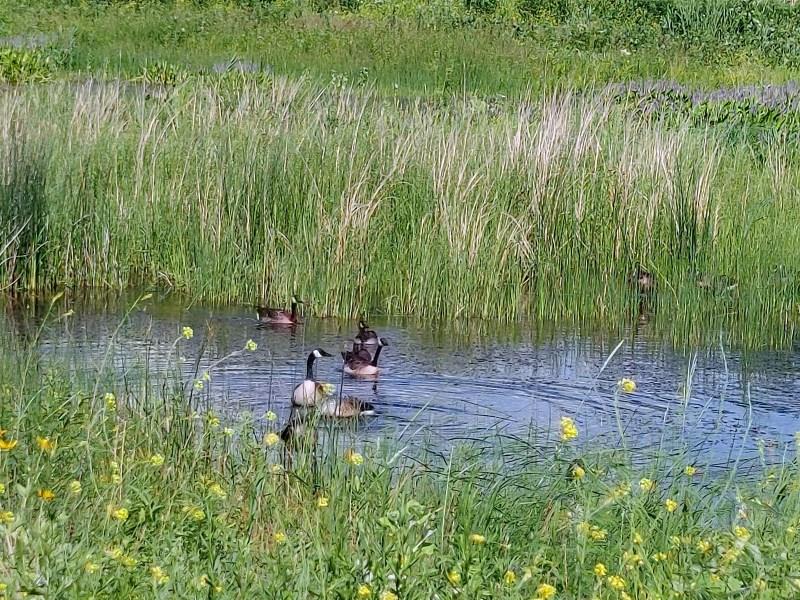 Canadian geese, Montezuma Wildlife Refuge