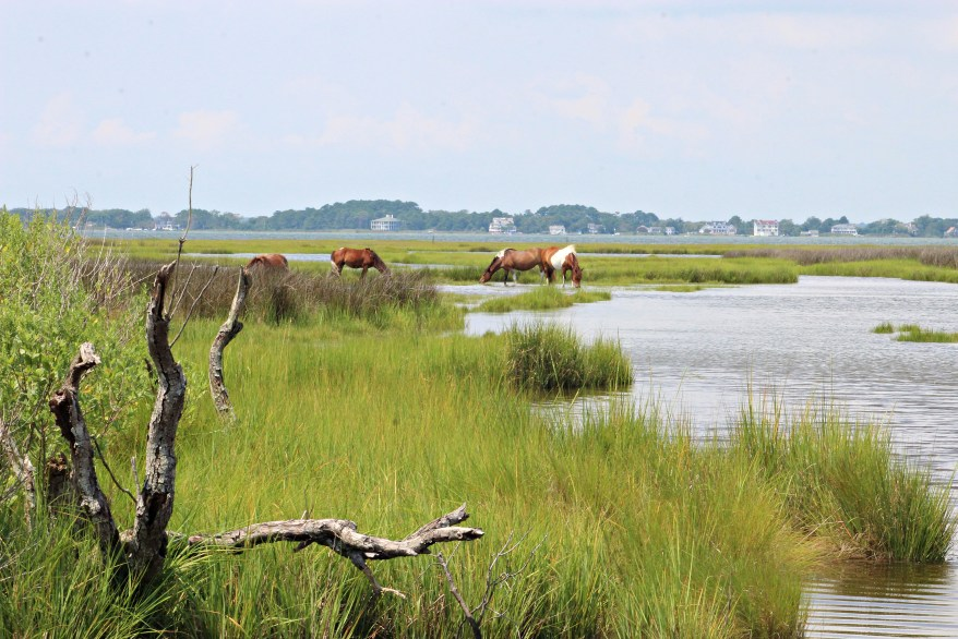 wild ponies of assateague island national seashore grazing on the marshes