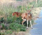 spotted-deer-chital1