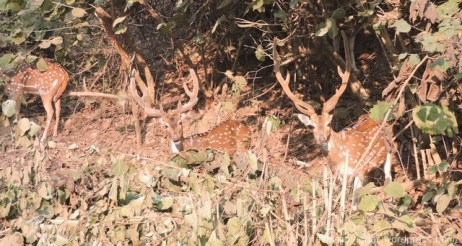 spotted-deers-chital