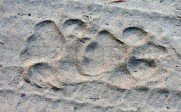 tiger-footsteps1