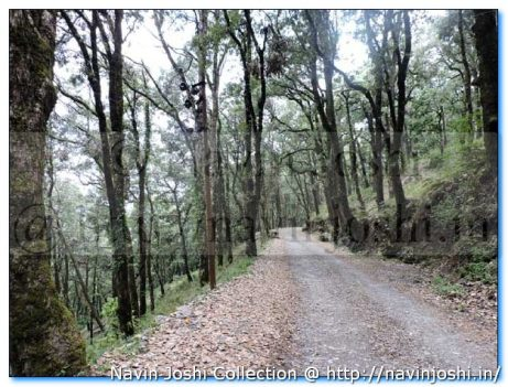 Dense Forest-Pangot