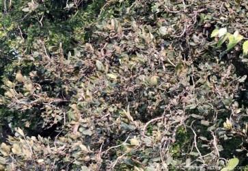 haldu-tree-leaves